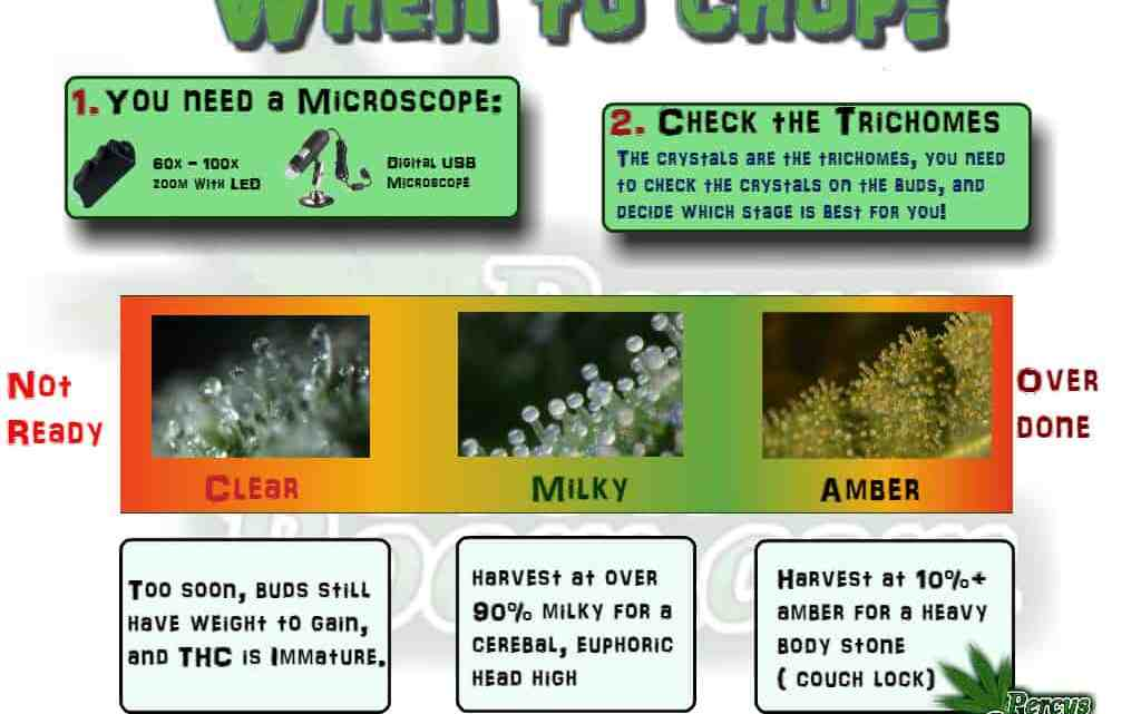 When to harvest a cannabis plant, trichomes, thc maturity, Cannabis growers forum & community, How to grow cannabis, how to grow weed, a step by step guide to growing weed, cannabis growers forum, need help with sick plant, what's wrong with my cannabis plant, percys Grow Room, the Grow Room, percys Grow Guides, we'd growing forum, weed growers community, how to grow weed in coco, when is my cannabis plant ready for harvest, how to feed my cannabis plant, beginners guide to growing weed, how to grow weed for personal use, cannabis plant deficiency, how to germinate cannabis seeds, where to buy cannabis seeds, best weed growers website, Cannabis Growers forum, weed growers forum, How to grow legal cannabis, a step by step guide to growing weed, cannabis growing guide, tips for marijuana growers, growing cannabis plants for the first time, marijuana growers forum, marijuana growing tips, cannabis plant problems, cannabis plant help, marijuana growing expert advice