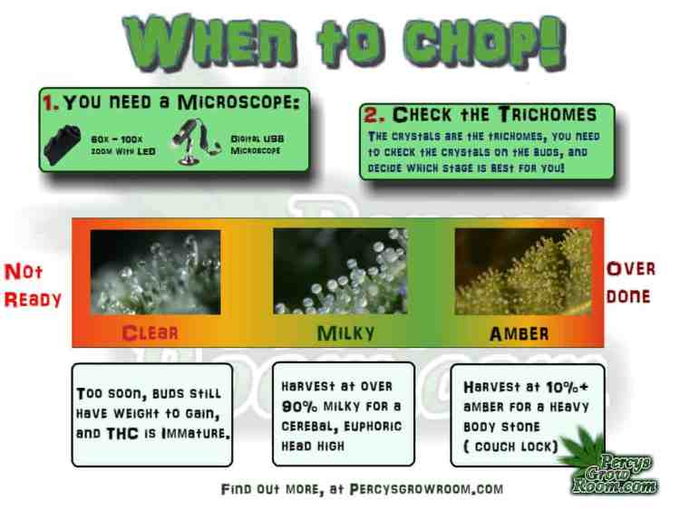 When to harvest a cannabis plant, trichomes, thc maturity, Cannabis growers forum & community, How to grow cannabis, how to grow weed, a step by step guide to growing weed, cannabis growers forum, need help with sick plant, what's wrong with my cannabis plant, percys Grow Room, the Grow Room, percys Grow Guides, we'd growing forum, weed growers community, how to grow weed in coco, when is my cannabis plant ready for harvest, how to feed my cannabis plant, beginners guide to growing weed, how to grow weed for personal use, cannabis plant deficiency, how to germinate cannabis seeds, where to buy cannabis seeds, best weed growers website