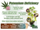 A brief Description of Symptoms of potassium deficiency in a Cannabis Plant. Percys Grow Room.com And a Cannabis plant drawing with dark green leaves, Cannabis growers forum & community, How to grow cannabis, how to grow weed, a step by step guide to growing weed, cannabis growers forum, need help with sick plant, what's wrong with my cannabis plant, percys Grow Room, the Grow Room, percys Grow Guides, we'd growing forum, weed growers community, how to grow weed in coco, when is my cannabis plant ready for harvest, how to feed my cannabis plant, beginners guide to growing weed, how to grow weed for personal use, cannabis plant deficiency, how to germinate cannabis seeds, where to buy cannabis seeds, best weed growers website