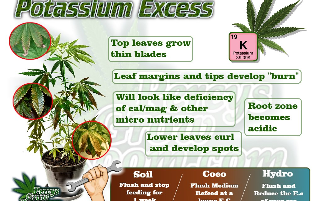 Symptoms of potassium excess in a cannabis plant, cannabis plant deficiency, how to fix a cannabis plant deficiency, nuit burn on my cannabis plant, nuit burn on a cannabis plant, how to fix nuit burn on a cannabis plant, cannabis plant problems, how to fix a sick cannabis plant, Cannabis growers forum & community, How to grow cannabis, how to grow weed, a step by step guide to growing weed, cannabis growers forum, need help with sick plant, what's wrong with my cannabis plant, percys Grow Room, the Grow Room, percys Grow Guides, we'd growing forum, weed growers community, how to grow weed in coco, when is my cannabis plant ready for harvest, how to feed my cannabis plant, beginners guide to growing weed, how to grow weed for personal use, cannabis plant deficiency, how to germinate cannabis seeds, where to buy cannabis seeds, best weed growers website