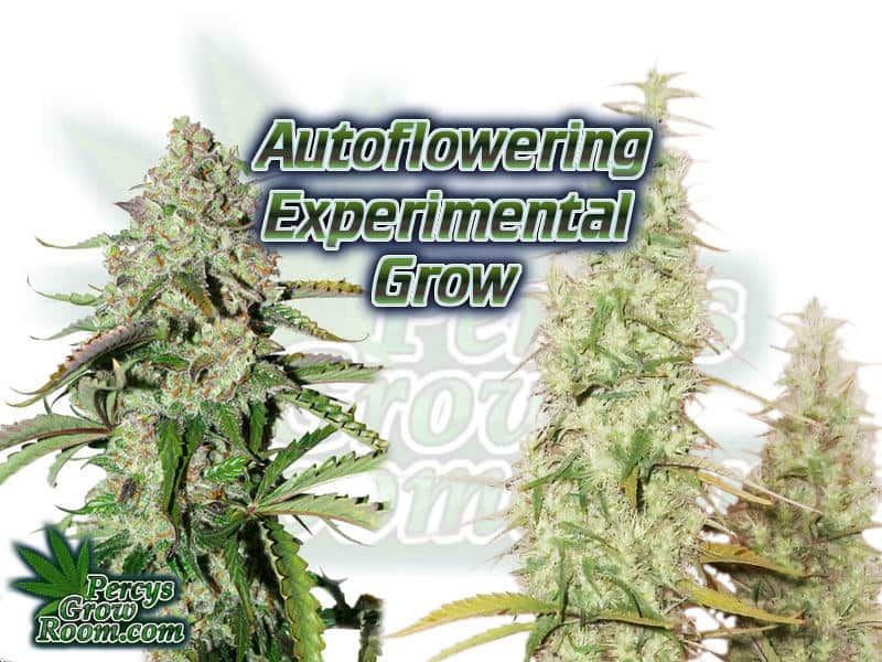 Autoflowering Experimental Grow, by Macky - Percys Grow Room