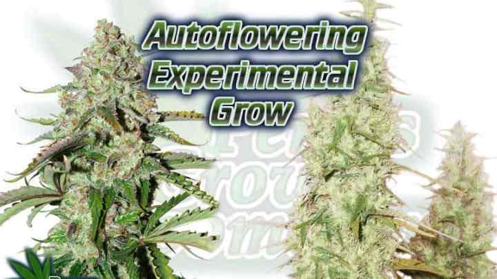 Autoflowering experimental grow, how to grow autos, autos in final pots, test grow, cannabis terminology, cannabis slang, Cannabis growers forum & community, How to grow cannabis, how to grow weed, a step by step guide to growing weed, cannabis growers forum, need help with sick plant, what's wrong with my cannabis plant, percy's Grow Room, the Grow Room, Cannabis Grow Guides, weed growing forum, weed growers community, how to grow weed in coco, when is my cannabis plant ready for harvest, how to feed my cannabis plant, beginners guide to growing weed, how to grow weed for personal use, cannabis plant deficiency, how to germinate cannabis seeds, where to buy cannabis seeds, best weed growers website, Learn to grow cannabis, is it easy to grow weed, Cannabis Growers forum, weed growers forum, How to grow legal cannabis, a step by step guide to growing weed, cannabis growing guide, tips for marijuana growers, growing cannabis plants for the first time, marijuana growers forum, marijuana growing tips, cannabis plant problems, cannabis plant help, marijuana growing expert advice