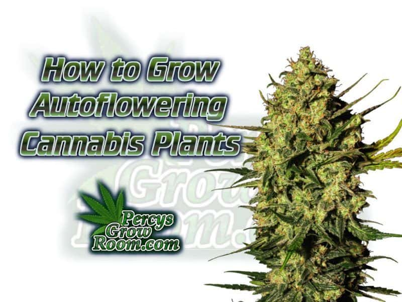 Autoflowering Cannabis Plants - Percys Grow Room, Sign Up