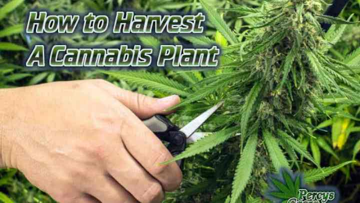 how to harvest a cannabis plant, harvest cannabis, chopping cannabis plants, how to harvest a weed plant, cannabis terminology, cannabis slang, Cannabis growers forum & community, How to grow cannabis, how to grow weed, a step by step guide to growing weed, cannabis growers forum, need help with sick plant, what's wrong with my cannabis plant, percy's Grow Room, the Grow Room, Cannabis Grow Guides, weed growing forum, weed growers community, how to grow weed in coco, when is my cannabis plant ready for harvest, how to feed my cannabis plant, beginners guide to growing weed, how to grow weed for personal use, cannabis plant deficiency, how to germinate cannabis seeds, where to buy cannabis seeds, best weed growers website, Learn to grow cannabis, is it easy to grow weed, Cannabis Growers forum, weed growers forum, How to grow legal cannabis, a step by step guide to growing weed, cannabis growing guide, tips for marijuana growers, growing cannabis plants for the first time, marijuana growers forum, marijuana growing tips, cannabis plant problems, cannabis plant help, marijuana growing expert advice