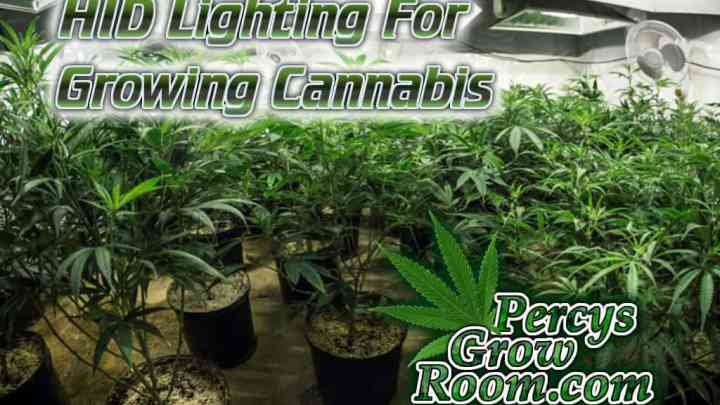 HID lights for growing cannabis, 600w HPS, 600 MH, 250w MH 250w HPS, 400w MH 400 HPS, Cannabis growers forum & community, How to grow cannabis, how to grow weed, a step by step guide to growing weed, cannabis growers forum, need help with sick plant, what's wrong with my cannabis plant, percys Grow Room, the Grow Room, percys Grow Guides, we'd growing forum, weed growers community, how to grow weed in coco, when is my cannabis plant ready for harvest, how to feed my cannabis plant, beginners guide to growing weed, how to grow weed for personal use, cannabis plant deficiency, how to germinate cannabis seeds, where to buy cannabis seeds, best weed growers website, how to dry cannabis