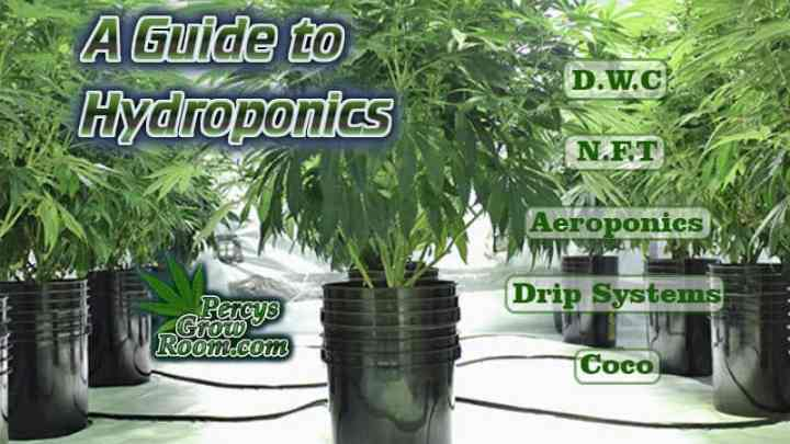 How to grow in hydro, what is hydroponics, grow weed in hydro, screen of green, what is scrogging, cannabis terminology, cannabis slang, Cannabis growers forum & community, How to grow cannabis, how to grow weed, a step by step guide to growing weed, cannabis growers forum, need help with sick plant, what's wrong with my cannabis plant, percy's Grow Room, the Grow Room, Cannabis Grow Guides, weed growing forum, weed growers community, how to grow weed in coco, when is my cannabis plant ready for harvest, how to feed my cannabis plant, beginners guide to growing weed, how to grow weed for personal use, cannabis plant deficiency, how to germinate cannabis seeds, where to buy cannabis seeds, best weed growers website, Learn to grow cannabis, is it easy to grow weed,, Cannabis Growers forum, weed growers forum, How to grow legal cannabis, a step by step guide to growing weed, cannabis growing guide, tips for marijuana growers, growing cannabis plants for the first time, marijuana growers forum, marijuana growing tips, cannabis plant problems, cannabis plant help, marijuana growing expert advice