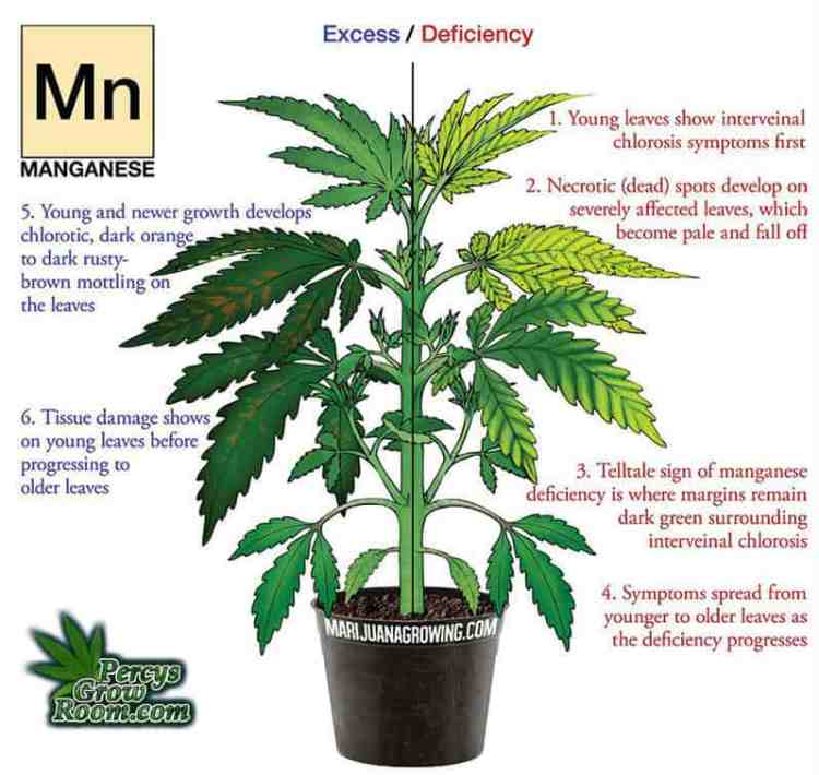 manganese deficiency is a cannabis plant. Cannabis growers forum & community, How to grow cannabis, how to grow weed, a step by step guide to growing weed, cannabis growers forum, need help with sick plant, what's wrong with my cannabis plant, percy's Grow Room, the Grow Room, Cannabis Grow Guides, weed growing forum, weed growers community, how to grow weed in coco, when is my cannabis plant ready for harvest, how to feed my cannabis plant, beginners guide to growing weed, how to grow weed for personal use, cannabis plant deficiency, how to germinate cannabis seeds, where to buy cannabis seeds, best weed growers website, Learn to grow cannabis, is it easy to grow weed,