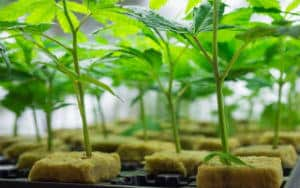 cannabis growing in rockwool cubes, Cannabis growers forum & community, How to grow cannabis, how to grow weed, a step by step guide to growing weed, cannabis growers forum, need help with sick plant, what's wrong with my cannabis plant, percy's Grow Room, the Grow Room, Cannabis Grow Guides, weed growing forum, weed growers community, how to grow weed in coco, when is my cannabis plant ready for harvest, how to feed my cannabis plant, beginners guide to growing weed, how to grow weed for personal use, cannabis plant deficiency, how to germinate cannabis seeds, where to buy cannabis seeds, best weed growers website, Learn to grow cannabis, is it easy to grow weed,