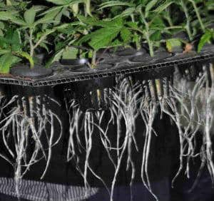 healthy cannabis plant roots, cannabis terminology, cannabis slang, Cannabis growers forum & community, How to grow cannabis, how to grow weed, a step by step guide to growing weed, cannabis growers forum, need help with sick plant, what's wrong with my cannabis plant, percy's Grow Room, the Grow Room, Cannabis Grow Guides, weed growing forum, weed growers community, how to grow weed in coco, when is my cannabis plant ready for harvest, how to feed my cannabis plant, beginners guide to growing weed, how to grow weed for personal use, cannabis plant deficiency, how to germinate cannabis seeds, where to buy cannabis seeds, best weed growers website, Learn to grow cannabis, is it easy to grow weed