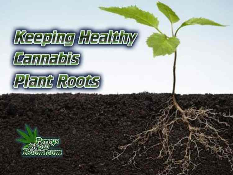 keeping healthy roots on a cannabis plant, healthy cannabis plant roots, cannabis terminology, cannabis slang, Cannabis growers forum & community, How to grow cannabis, how to grow weed, a step by step guide to growing weed, cannabis growers forum, need help with sick plant, what's wrong with my cannabis plant, percy's Grow Room, the Grow Room, Cannabis Grow Guides, weed growing forum, weed growers community, how to grow weed in coco, when is my cannabis plant ready for harvest, how to feed my cannabis plant, beginners guide to growing weed, how to grow weed for personal use, cannabis plant deficiency, how to germinate cannabis seeds, where to buy cannabis seeds, best weed growers website, Learn to grow cannabis, is it easy to grow weed, Cannabis Growers forum, weed growers forum, How to grow legal cannabis, a step by step guide to growing weed, cannabis growing guide, tips for marijuana growers, growing cannabis plants for the first time, marijuana growers forum, marijuana growing tips, cannabis plant problems, cannabis plant help, marijuana growing expert advice
