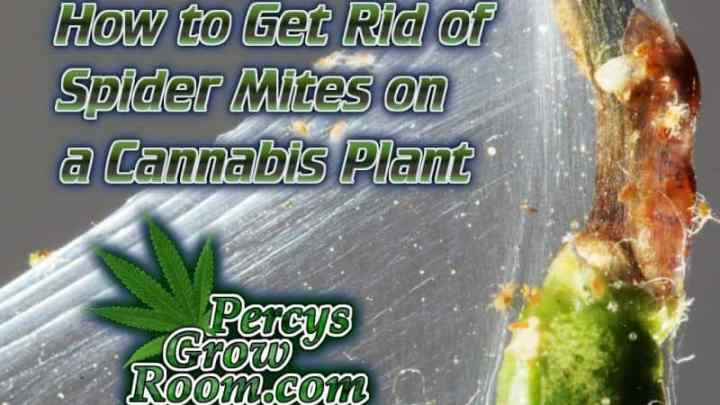 Autoflowering Cannabis Plants, What does it mean? - Percys Grow Room