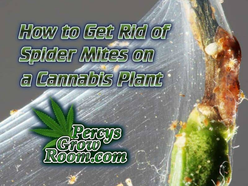 How to get rid of spider mites on a cannabis plant, Cannabis Growers Forum, cannabis growing guides, How to grow legal cannabis, a step by step guide to growing weed, cannabis growing guide, tips for marijuana growers, growing cannabis plants for the first time, marijuana growers forum, marijuana growing tips, cannabis plant problems, cannabis plant help, marijuana growing expert advice. Percysgrowroom.com PercyGrowRoom.com Logo, Cannabis Growers forum, weed growers forum, How to grow legal cannabis, a step by step guide to growing weed, cannabis growing guide, tips for marijuana growers, growing cannabis plants for the first time, marijuana growers forum, marijuana growing tips, cannabis plant problems, cannabis plant help, marijuana growing expert advice