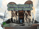 How to grow weed in DWC, How to grow legal cannabis, a step by step guide to growing weed, cannabis growing guide, tips for marijuana growers, growing cannabis plants for the first time, marijuana growers forum, marijuana growing tips, cannabis plant problems, cannabis plant help, marijuana growing expert advice. Percysgrowroom.com How to test EC, Ec meter, TDS meter, How to feed your cannabis plant, cannabis growers forum