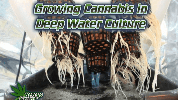 How to grow weed in DWC, Growing cannabis in deep water culture, what is DWC. hydroponics, growing weed in hydro, whats the best hydro system for growing weed, How to grow cannabis, how to grow weed, a step by step guide to growing weed, cannabis growers forum, need help with sick plant, what's wrong with my cannabis plant, percys Grow Room, the Grow Room, percys Grow Guides, we'd growing forum, weed growers community, how to grow weed in coco, when is my cannabis plant ready for harvest, how to feed my cannabis plant, beginners guide to growing weed, how to grow weed for personal use, cannabis plant deficiency, how to germinate cannabis seeds, where to buy cannabis seeds, best weed growers website, Cannabis Growers forum, weed growers forum, How to grow legal cannabis, a step by step guide to growing weed, cannabis growing guide, tips for marijuana growers, growing cannabis plants for the first time, marijuana growers forum, marijuana growing tips, cannabis plant problems, cannabis plant help, marijuana growing expert advice