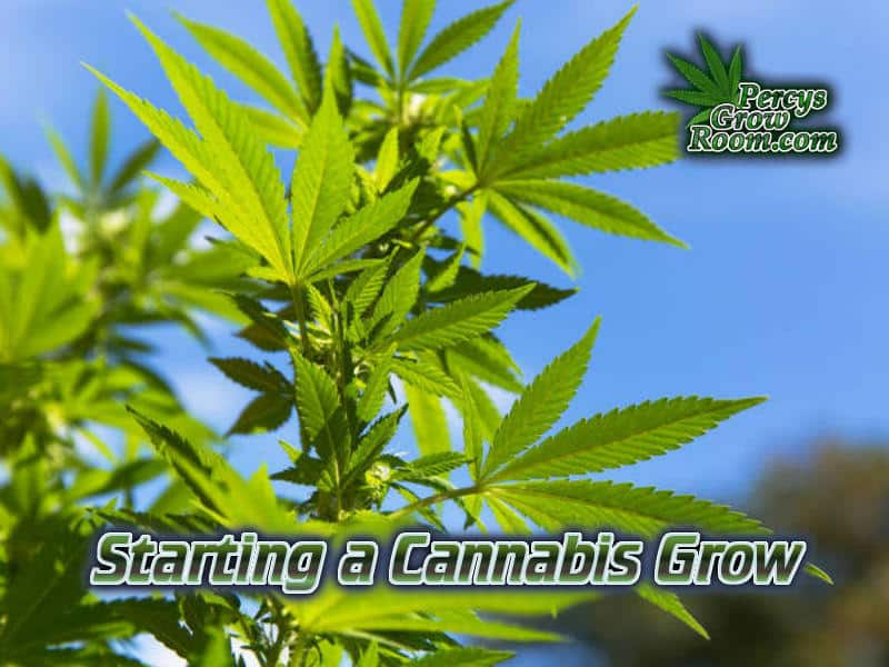 How to start growing cannabis, guide to growing weed, cannabis growers forum, need help with sick plant, what's wrong with my cannabis plant, percys Grow Room, the Grow Room, percys Grow Guides, we'd growing forum, weed growers community, how to grow weed in coco, when is my cannabis plant ready for harvest, how to feed my cannabis plant, beginners guide to growing weed, how to grow weed for personal use, cannabis plant deficiency, how to germinate cannabis seeds, where to buy cannabis seeds, best weed growers website, Cannabis Growers forum, weed growers forum, How to grow legal cannabis, a step by step guide to growing weed, cannabis growing guide, tips for marijuana growers, growing cannabis plants for the first time, marijuana growers forum, marijuana growing tips, cannabis plant problems, cannabis plant help, marijuana growing expert advice