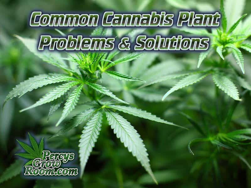 common cannabis plant problems and solutions, Cannabis growers forum & community, How to grow cannabis, how to grow weed, a step by step guide to growing weed, cannabis growers forum, need help with sick plant, what's wrong with my cannabis plant, percy's Grow Room, the Grow Room, Cannabis Grow Guides, weed growing forum, weed growers community, how to grow weed in coco, when is my cannabis plant ready for harvest, how to feed my cannabis plant, beginners guide to growing weed, how to grow weed for personal use, cannabis plant deficiency, how to germinate cannabis seeds, where to buy cannabis seeds, best weed growers website, Learn to grow cannabis, is it easy to grow weed, Cannabis Growers forum, weed growers forum, How to grow legal cannabis, a step by step guide to growing weed, cannabis growing guide, tips for marijuana growers, growing cannabis plants for the first time, marijuana growers forum, marijuana growing tips, cannabis plant problems, cannabis plant help, marijuana growing expert advice