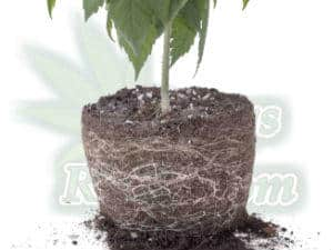 cannabis plant roots, transplanting root bound plants, is may cannabis plant root bound, ph for cannabis plants grown in hydroponics, 5.8 is best for vegging plants, and 60 for flowering plants, ph charts for plants grown in hydro, let ph swing between 5.8 and 6.2, Cannabis growers forum & community, How to grow cannabis, how to grow weed, a step by step guide to growing weed, cannabis growers forum, need help with sick plant, what's wrong with my cannabis plant, percy's Grow Room, the Grow Room, Cannabis Grow Guides, weed growing forum, weed growers community, how to grow weed in coco, when is my cannabis plant ready for harvest, how to feed my cannabis plant, beginners guide to growing weed, how to grow weed for personal use, cannabis plant deficiency, how to germinate cannabis seeds, where to buy cannabis seeds, best weed growers website, Learn to grow cannabis, is it easy to grow weed,