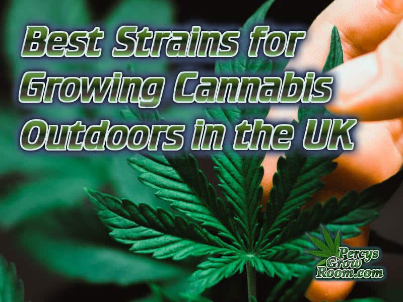 best strains for growing cannabis outdoors in the UK, featured images, How to grow cannabis, how to grow weed, a step by step guide to growing weed, cannabis growers forum, need help with sick plant, what's wrong with my cannabis plant, percys Grow Room, the Grow Room, percys Grow Guides, we'd growing forum, weed growers community, how to grow weed in coco, when is my cannabis plant ready for harvest, how to feed my cannabis plant, beginners guide to growing weed, how to grow weed for personal use, cannabis plant deficiency, how to germinate cannabis seeds, where to buy cannabis seeds, best weed growers website, Cannabis Growers forum, weed growers forum, How to grow legal cannabis, a step by step guide to growing weed, cannabis growing guide, tips for marijuana growers, growing cannabis plants for the first time, marijuana growers forum, marijuana growing tips, cannabis plant problems, cannabis plant help, marijuana growing expert advice