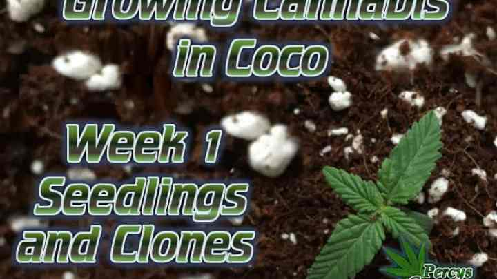 growing cannabis in coco, week 1, seedlings and cuttings, How to grow cannabis, how to grow weed, a step by step guide to growing weed, cannabis growers forum, need help with sick plant, what's wrong with my cannabis plant, percys Grow Room, the Grow Room, percys Grow Guides, we'd growing forum, weed growers community, how to grow weed in coco, when is my cannabis plant ready for harvest, how to feed my cannabis plant, beginners guide to growing weed, how to grow weed for personal use, cannabis plant deficiency, how to germinate cannabis seeds, where to buy cannabis seeds, best weed growers website, Cannabis Growers forum, weed growers forum, How to grow legal cannabis, a step by step guide to growing weed, cannabis growing guide, tips for marijuana growers, growing cannabis plants for the first time, marijuana growers forum, marijuana growing tips, cannabis plant problems, cannabis plant help, marijuana growing expert advice