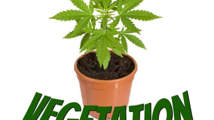 Guides to vegetating cannabis plants, grow cannabis, how to grow weed, a step by step guide to growing weed, cannabis growers forum, need help with sick plant, what's wrong with my cannabis plant, percys Grow Room, the Grow Room, percys Grow Guides, we'd growing forum, weed growers community, how to grow weed in coco, when is my cannabis plant ready for harvest, how to feed my cannabis plant, beginners guide to growing weed, how to grow weed for personal use, cannabis plant deficiency, how to germinate cannabis seeds, where to buy cannabis seeds, best weed growers website, Cannabis Growers forum, weed growers forum, How to grow legal cannabis, a step by step guide to growing weed, cannabis growing guide, tips for marijuana growers, growing cannabis plants for the first time, marijuana growers forum, marijuana growing tips, cannabis plant problems, cannabis plant help, marijuana growing expert advice