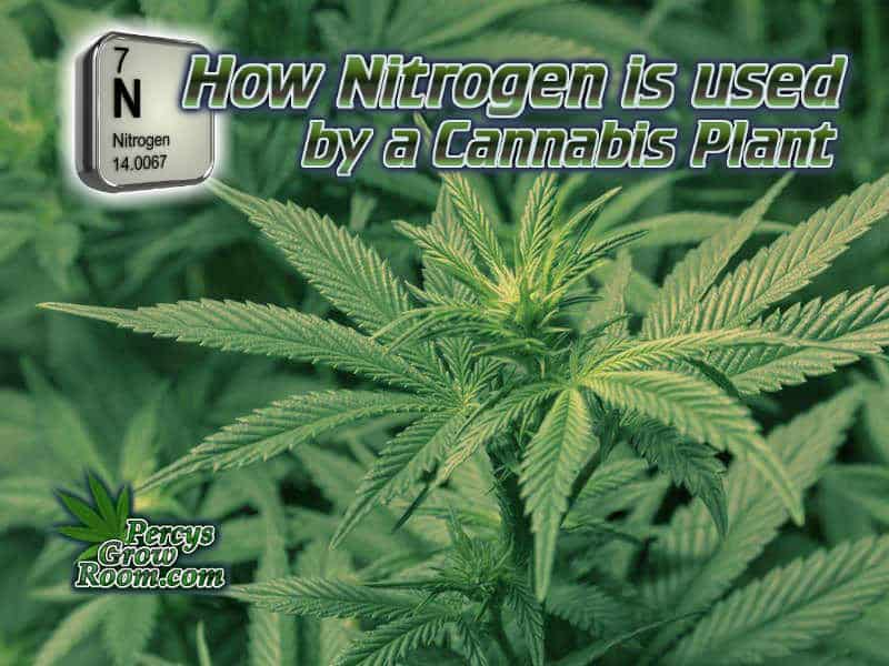 how nitrogen is used by a cannabis plant, how to fix nitrogen deficiency in a cannabis plant, nitrogen toxicity, nitrogen excess, how to feed my cannabis plant, beginners guide to growing weed, how to grow weed for personal use, cannabis plant deficiency, how to germinate cannabis seeds, where to buy cannabis seeds, best weed growers website, Cannabis Growers forum, weed growers forum, How to grow legal cannabis, a step by step guide to growing weed, cannabis growing guide, tips for marijuana growers, growing cannabis plants for the first time, marijuana growers forum, marijuana growing tips, cannabis plant problems, cannabis plant help, marijuana growing expert advice