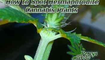 Hermaphrodite cannabis plants, how to spot a hermie, what is a hermie plant, how to store cannabis seeds, beginners guide to growing weed, how to grow weed for personal use, cannabis plant deficiency, how to germinate cannabis seeds, where to buy cannabis seeds, best weed growers website, Cannabis Growers forum, weed growers forum, How to grow legal cannabis, a step by step guide to growing weed, cannabis growing guide, tips for marijuana growers, growing cannabis plants for the first time, marijuana growers forum, marijuana growing tips, cannabis plant problems, cannabis plant help, marijuana growing expert advice