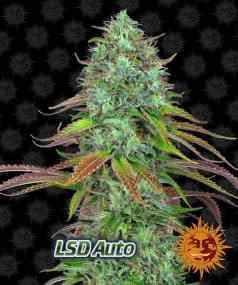 New Strains from Barneys Farm, LSD Auto,