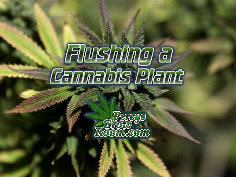 How to flush cannabis before harvest, flushing cannabis plants, what is flushing cannabis, Cannabis growers forum & community, How to grow cannabis, how to grow weed, a step by step guide to growing weed, cannabis growers forum, need help with sick plant, what's wrong with my cannabis plant, percys Grow Room, the Grow Room, percys Grow Guides, we'd growing forum, weed growers community, how to grow weed in coco, when is my cannabis plant ready for harvest, how to feed my cannabis plant, beginners guide to growing weed, how to grow weed for personal use, cannabis plant deficiency, how to germinate cannabis seeds, where to buy cannabis seeds, best weed growers website