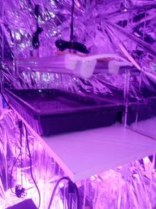 inside veg tent germination area(6)