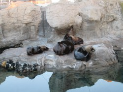 A family of sea lions cuddling to take a nap.