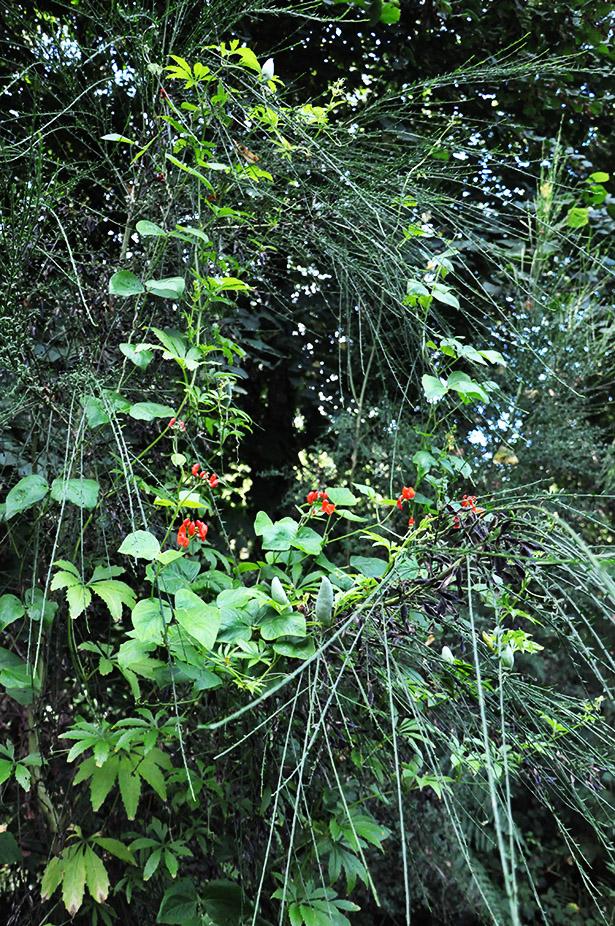 Haricot d'Espagne en fleurs