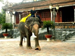 A lonely one-tusker at the Imperial City in Hue. Photo Nadia Krige