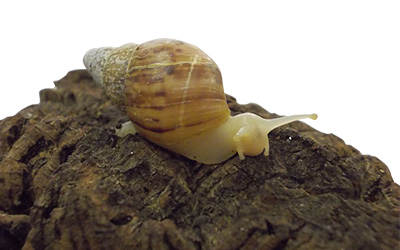 White Jade Land Snail