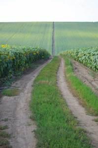 Droga wiodąca przez pole słoneczników