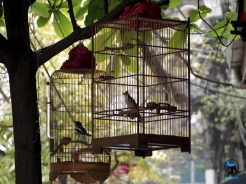 Birds on the streets of Hanoi