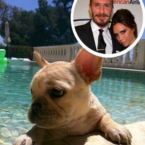 david_beckham_french_bulldog_scarlet