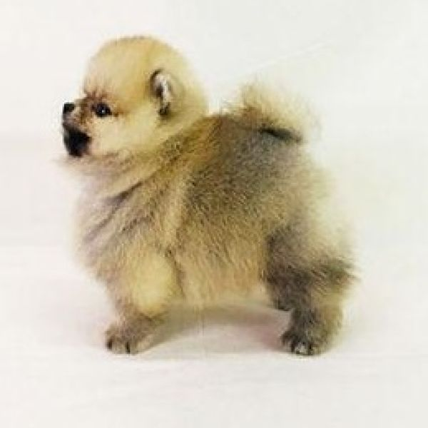 Pomeranian puppies for sale in San Jose San Diego – perfect