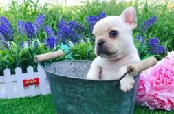 creame French bulldog 26