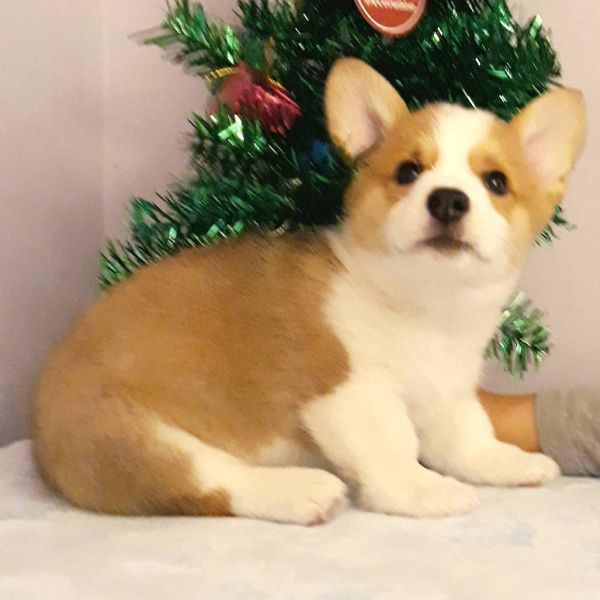 Cutest Welsh Corgi puppies for sale near me – perfect-puppy com