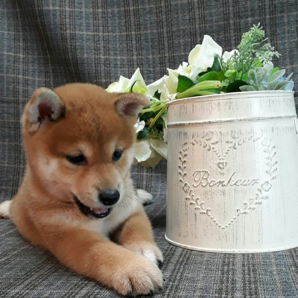 Japanese Shiba Inu Puppies For Sale In San Francisco Bay Area Page