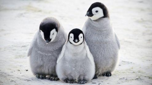 _111925035_penguino
