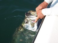 Indian Pass Tarpon close up