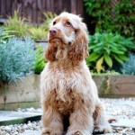 Teenage Troubles New Insights Into Your Pup S Adolescent Phase Perfect Cocker Spaniel