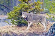 Gray Wolf, Yellowstone National Park
