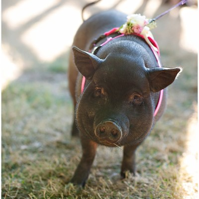 Miniature pigs attend cocktail hour as entertainment | Whimsical and Romantic Wedding at DeLille Cellars | Wedding Planning & Design by Perfectly Posh Events | Wedding Photos by Barbie Hull Photography | Wedding Flowers by Floressence | #perfectlyposhevents