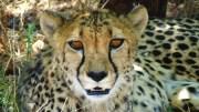 TerraVista: Geparden in freier Wildbahn in Namibia