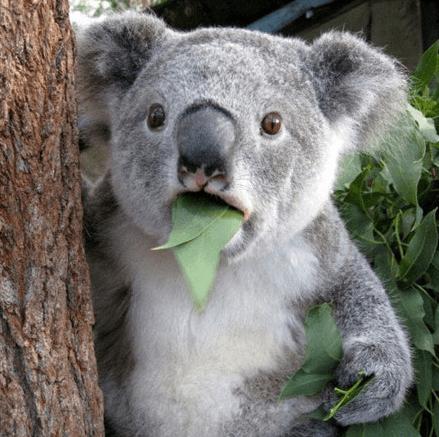 koala-animal-surprised-leaf-eating-the-meta-picture