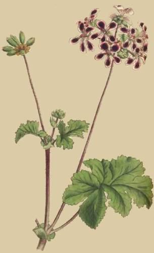 geranium pour homme