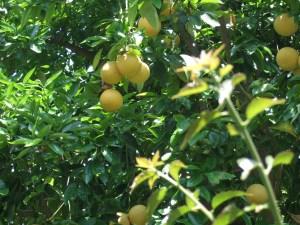 lemonguava