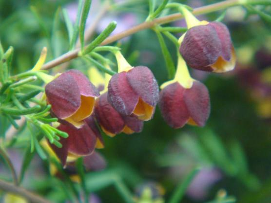 Anya's Garden Kewdra Golden Boronia webry